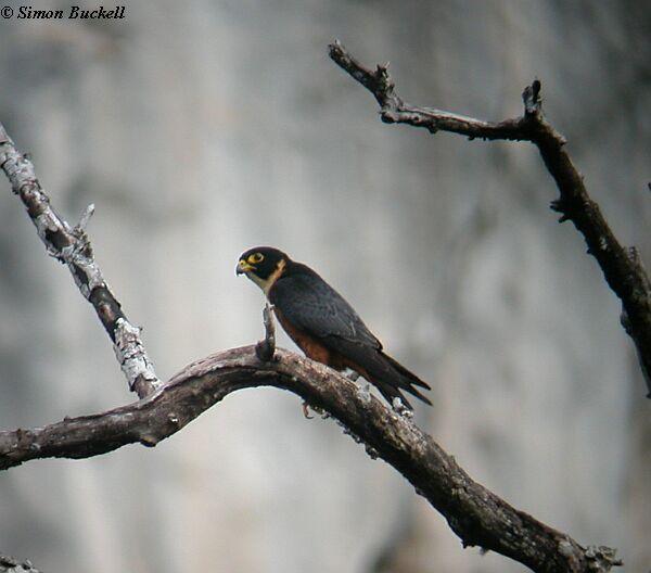 Falconiformes. sub Falconidae - sub fam Falconinae - gênero Falco - Página 3 Oriental_hobby_0168_sb