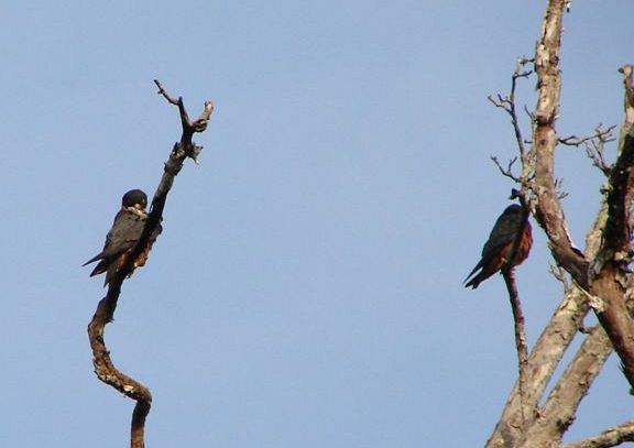 Falconiformes. sub Falconidae - sub fam Falconinae - gênero Falco - Página 3 Oriental_hobby_02550035_sb