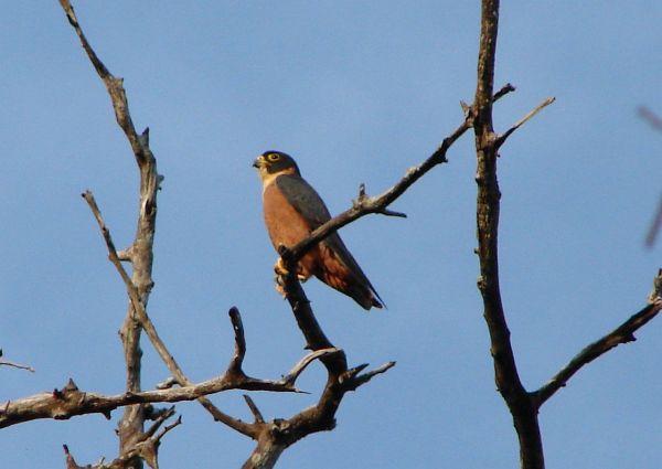 Falconiformes. sub Falconidae - sub fam Falconinae - gênero Falco - Página 3 Oriental_hobby_02550043_sb