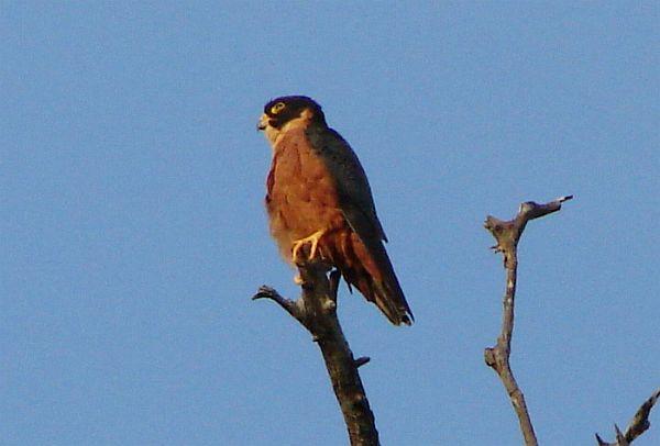 Falconiformes. sub Falconidae - sub fam Falconinae - gênero Falco - Página 3 Oriental_hobby_02550046_sb