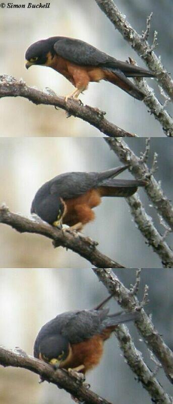 Falconiformes. sub Falconidae - sub fam Falconinae - gênero Falco - Página 3 Oriental_hobby_bill_cleaning_sb