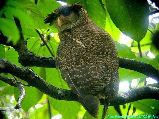 Strigformes: Famíla Strigidae- sub fam. Buteonidae. Género Ketupa (por vezes incluído em Bubo) Owl_barredeagle_owl_6_ang