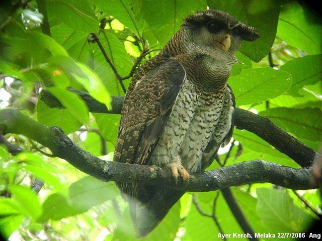 Strigformes: Famíla Strigidae- sub fam. Buteonidae. Género Ketupa (por vezes incluído em Bubo) Owl_barredeagle_owl_calling_ang