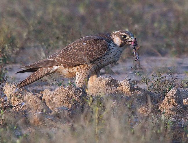 Falconiformes. sub Falconidae - sub fam Falconinae - gênero Falco - Página 2 Rensf