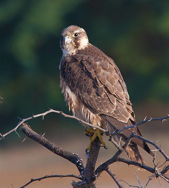 Falconiformes. sub Falconidae - sub fam Falconinae - gênero Falco - Página 2 Rnsh