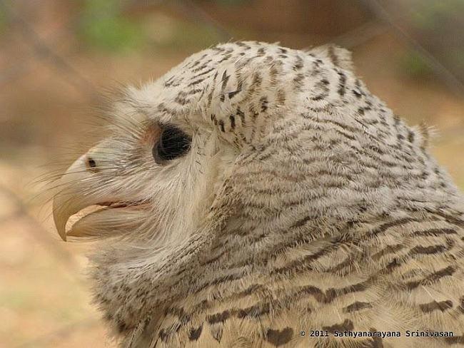 Strigformes: Famíla Strigidae- sub fam. Buteonidae. Género Ketupa (por vezes incluído em Bubo) Sbee1