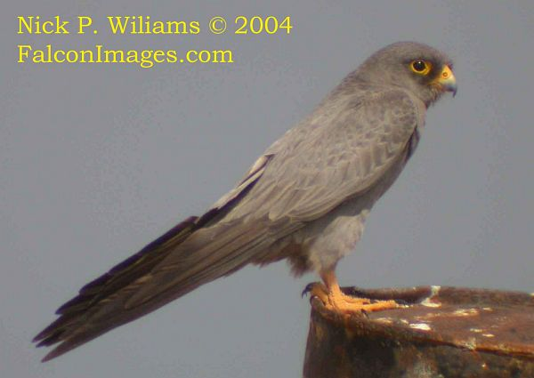 Falconiformes. sub Falconidae - sub fam Falconinae - gênero Falco Sooty_falcon_2_npw
