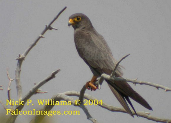 Falconiformes. sub Falconidae - sub fam Falconinae - gênero Falco Sooty_falcon_npw_copy1