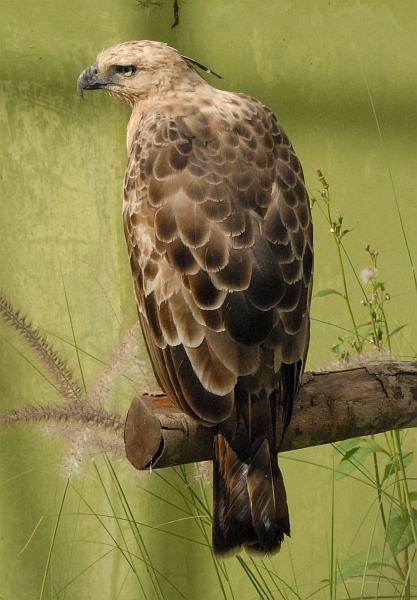 Falconiformes. Família  Acciptridae - Subfamília Buteonidade- Gaviões de penacho. genêro SPIZAETUS Spizaetus_bartelsi1