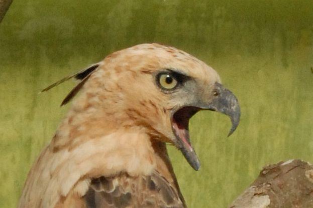Falconiformes. Família  Acciptridae - Subfamília Buteonidade- Gaviões de penacho. genêro SPIZAETUS Spizaetus_hd