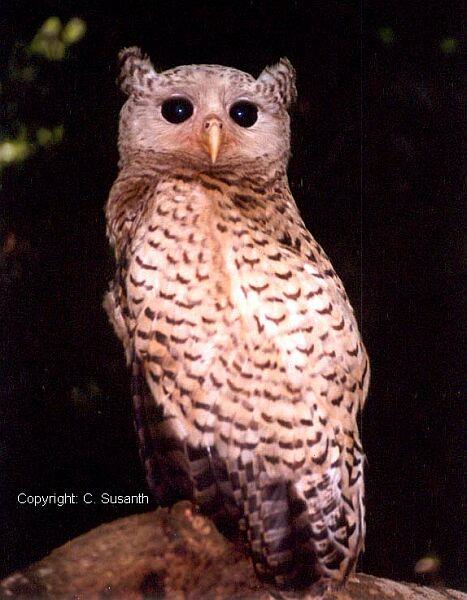 Strigformes: Famíla Strigidae- sub fam. Buteonidae. Género Ketupa (por vezes incluído em Bubo) Spotbellied_eagle_owl_juv_cs