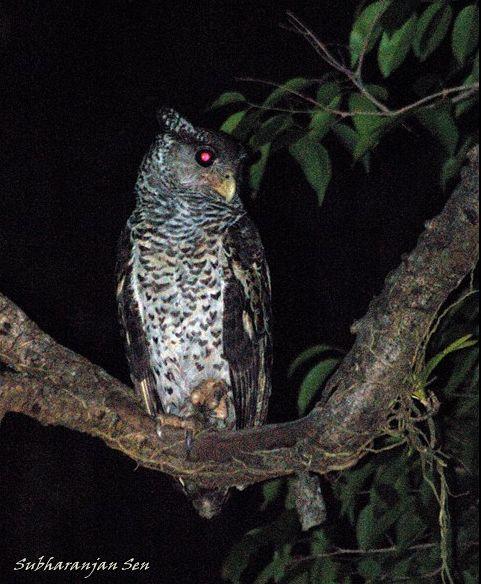 Strigformes: Famíla Strigidae- sub fam. Buteonidae. Género Ketupa (por vezes incluído em Bubo) Spotbellied_eagle_owldsc_0794obp