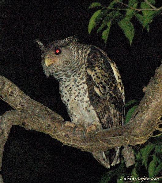Strigformes: Famíla Strigidae- sub fam. Buteonidae. Género Ketupa (por vezes incluído em Bubo) Spotbellied_eagle_owldsc_0812obp
