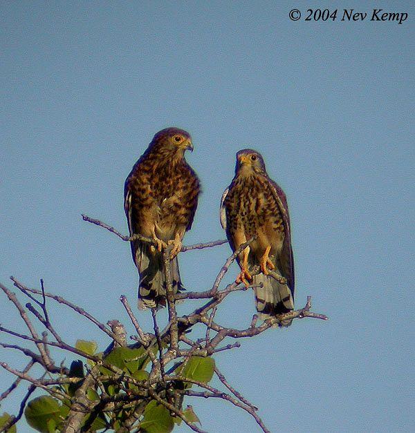 Falconiformes. sub Falconidae - sub fam Falconinae - gênero Falco - Página 2 Spotted_kestrel1_nk