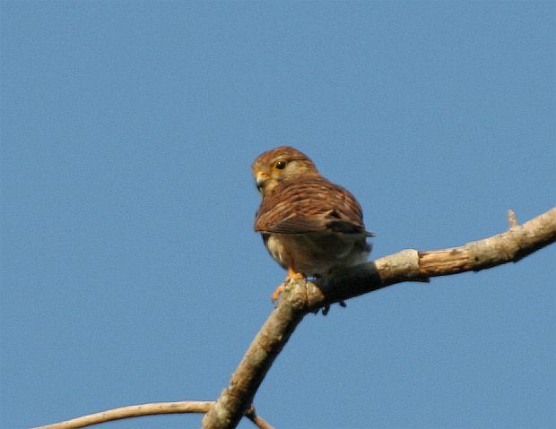 Falconiformes. sub Falconidae - sub fam Falconinae - gênero Falco - Página 2 Spottedkestrel_je