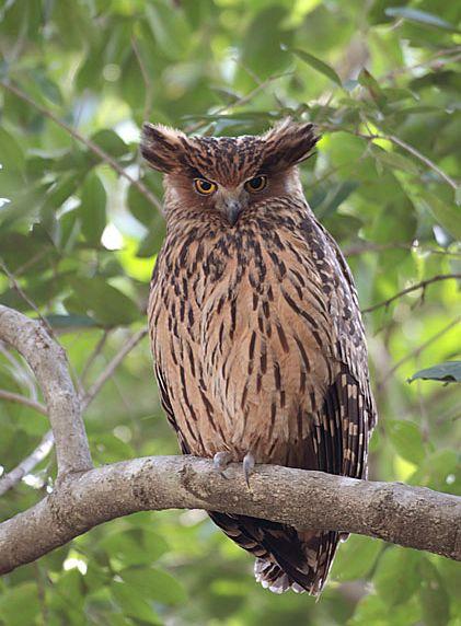 Strigformes: Famíla Strigidae- sub fam. Buteonidae. Género Ketupa (por vezes incluído em Bubo) Tfogsb