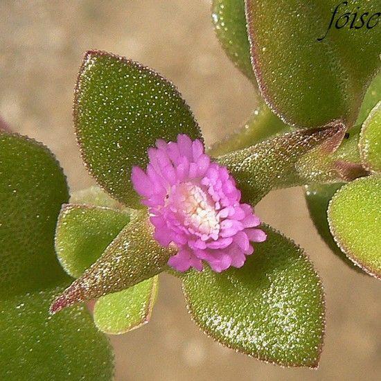 une fleur à découvrir par blucat (13juillet)trouvée par ajonc 63197019