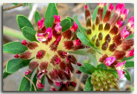 une fleur à découvrir par blucat (21juillet)trouvée par ajonc 84032073_p