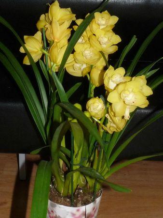 Cymbidium jaune hybride 84560305_p