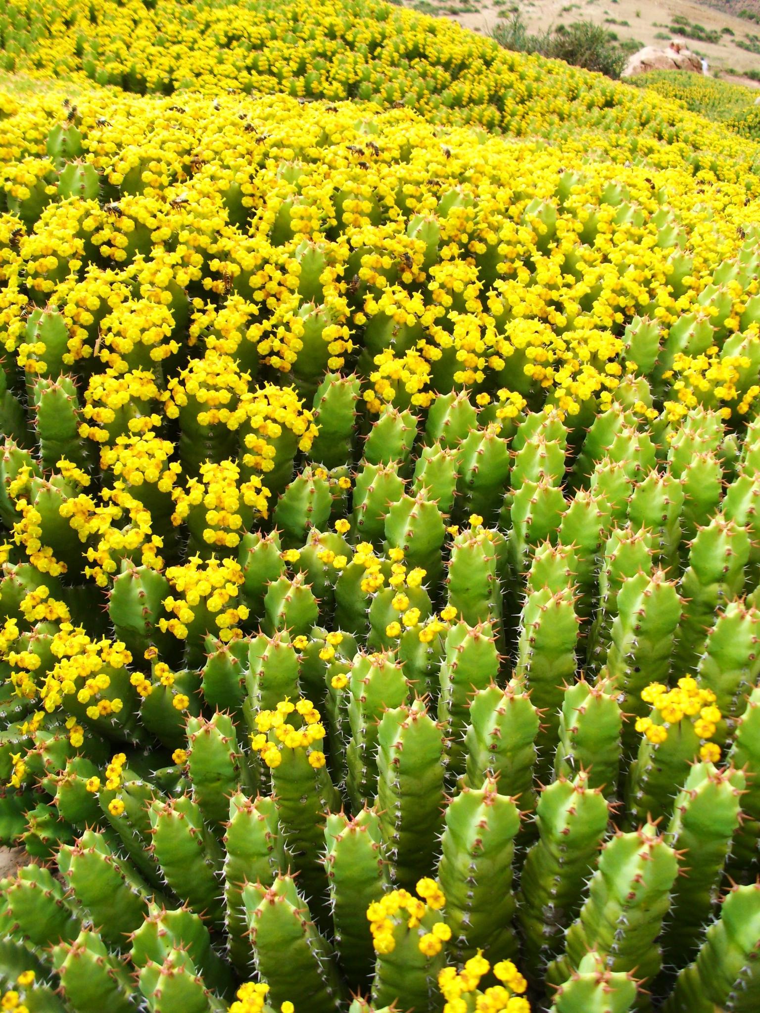 Euphorbia resinifera 76818893_o