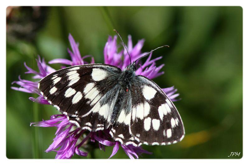 le papillon de Martin du 10 février trouvé par Gin-to 67257765