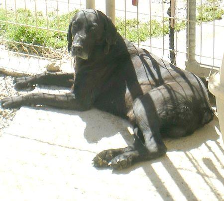 BALTO croisé Braque/labrador noir 10 ans (9 ans de refuge)    -  Refuge de LAMALOU A BRISSAC (34) 87991038_p