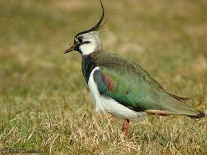 un oiseau - Ajonc - 12 octobre trouvé par Jovany 88761561_p