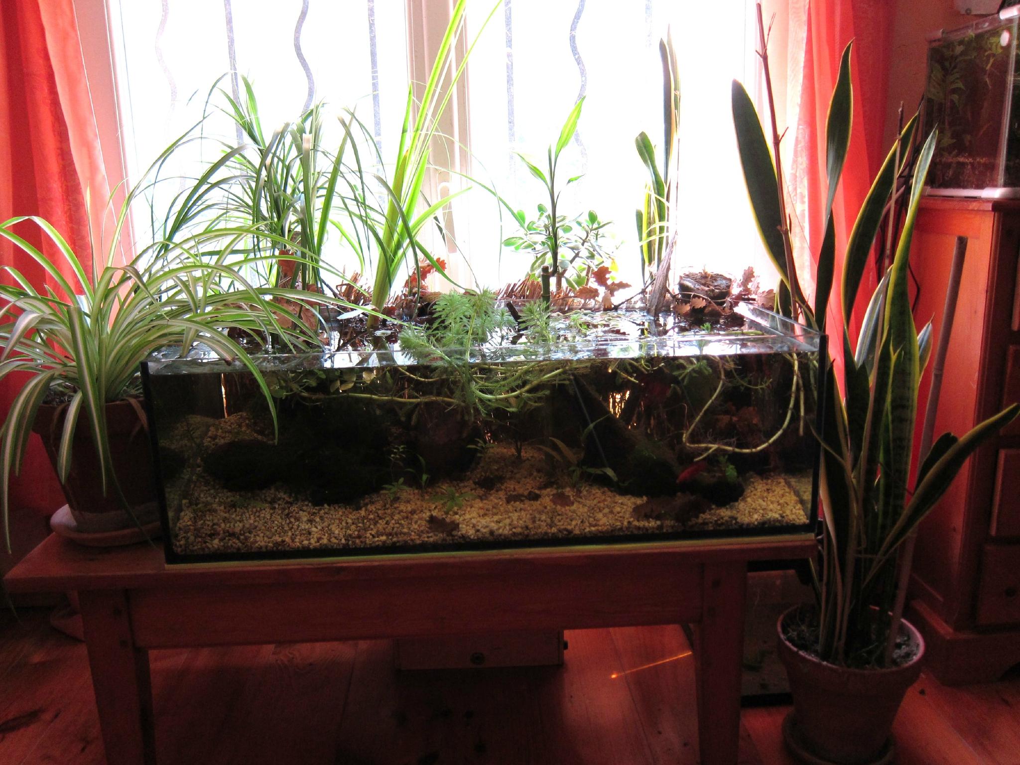 L'aquarium de ...mes bettas. 86933480_o