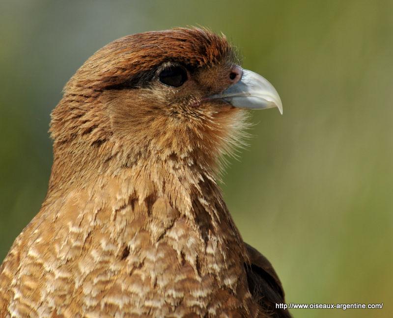 oiseau de ptit loulou le 14décembre trouvé par Martine  66996589