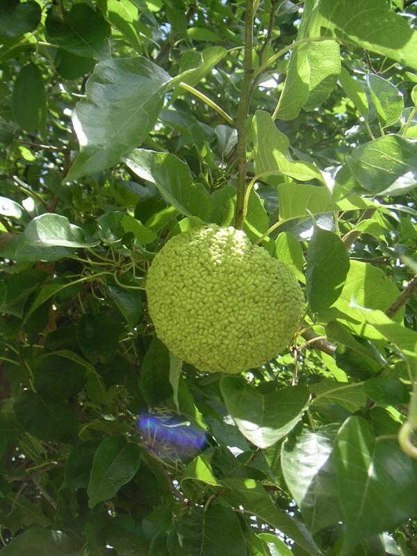 l'arbre fruitier d'Ajonc du 3 septembre trouvé par Cathy 12192756