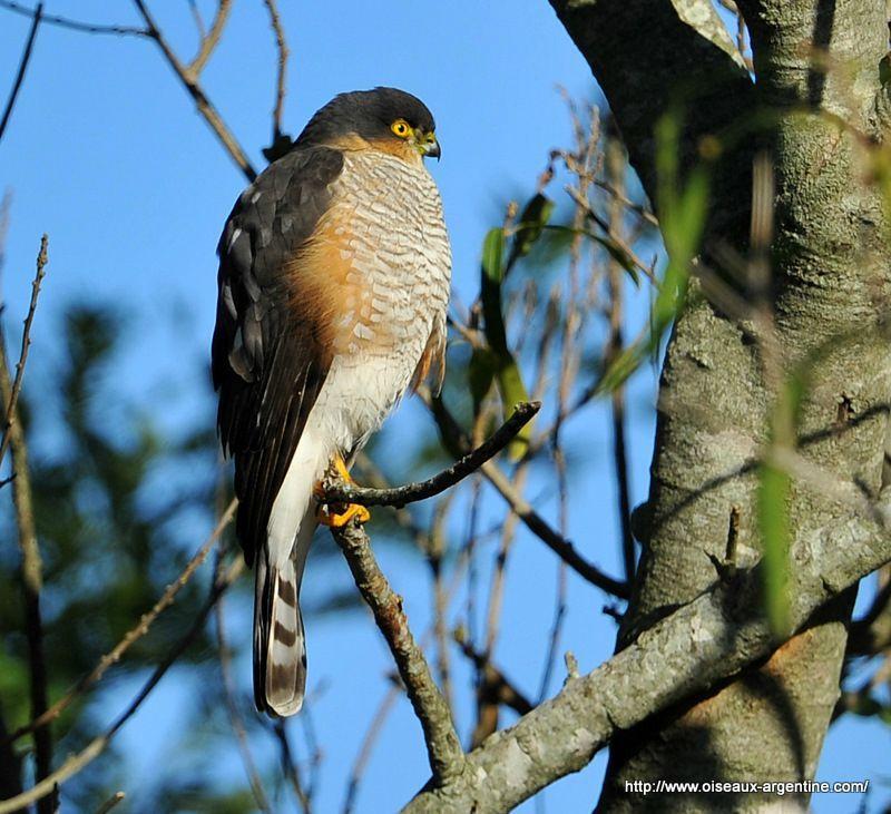 oiseau de ptit loulou le 14décembre trouvé par Martine  66664455