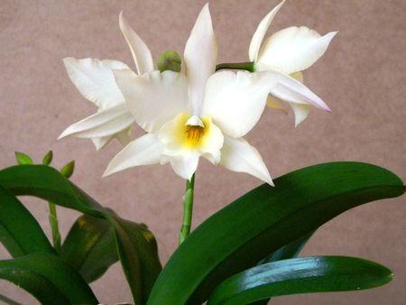 Iwanagara Apple Blossom' 85640845_p