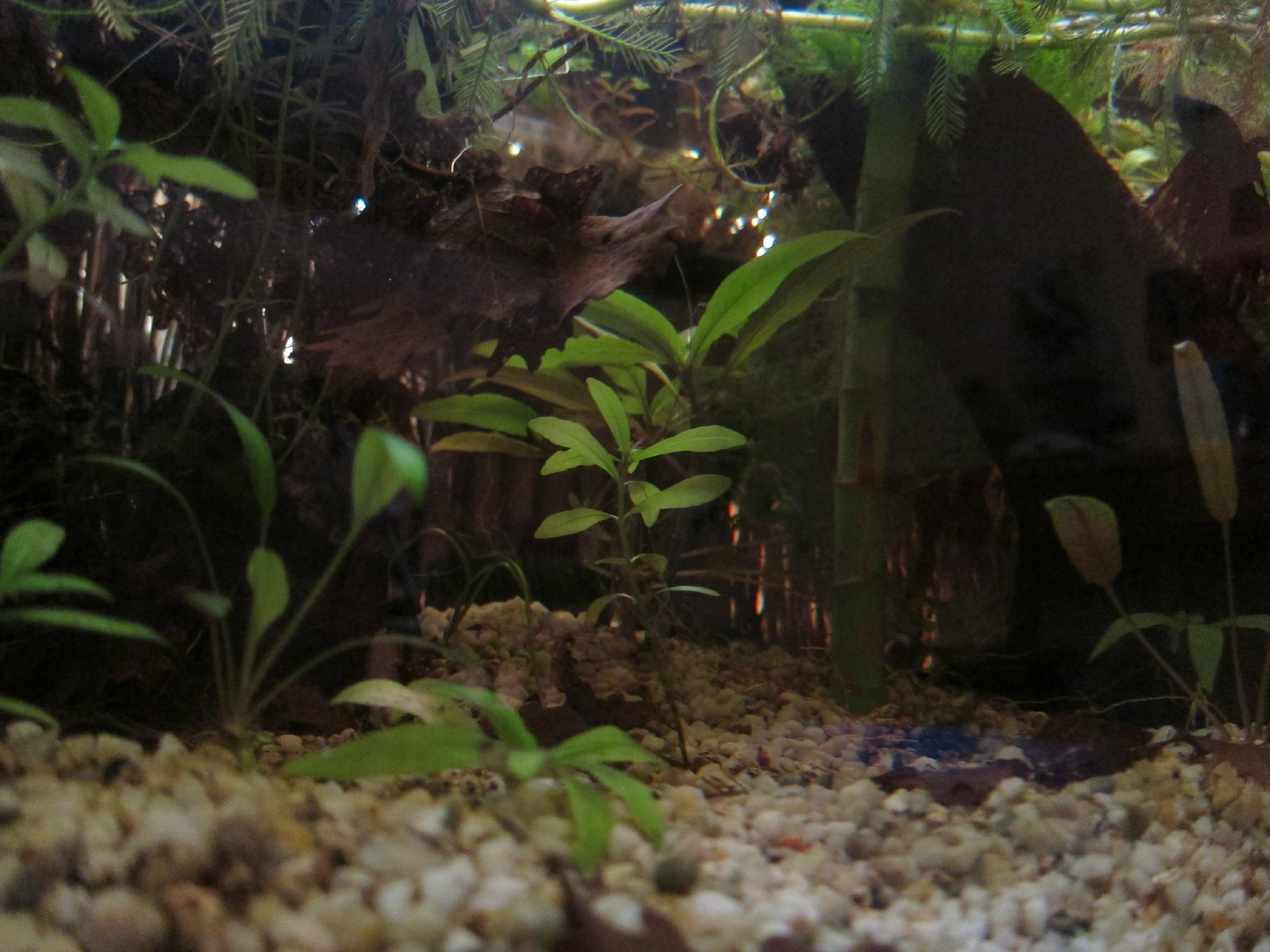 L'aquarium de ...mes bettas. 86933707_o