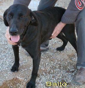 BALTO croisé Braque/labrador noir 10 ans (9 ans de refuge)    -  Refuge de LAMALOU A BRISSAC (34) 72410289_p