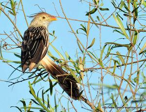 Oiseau Martine 15/02/2015 trouvé par Ajonc 65513678_p