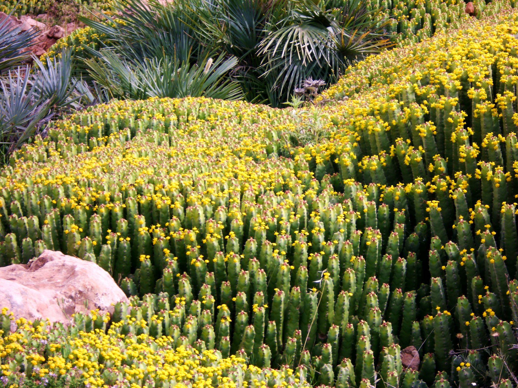 Euphorbia resinifera 76819051_o