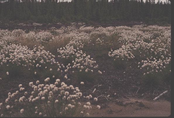 Idées de massifs et associations des graminées Eriophorum_latifolium