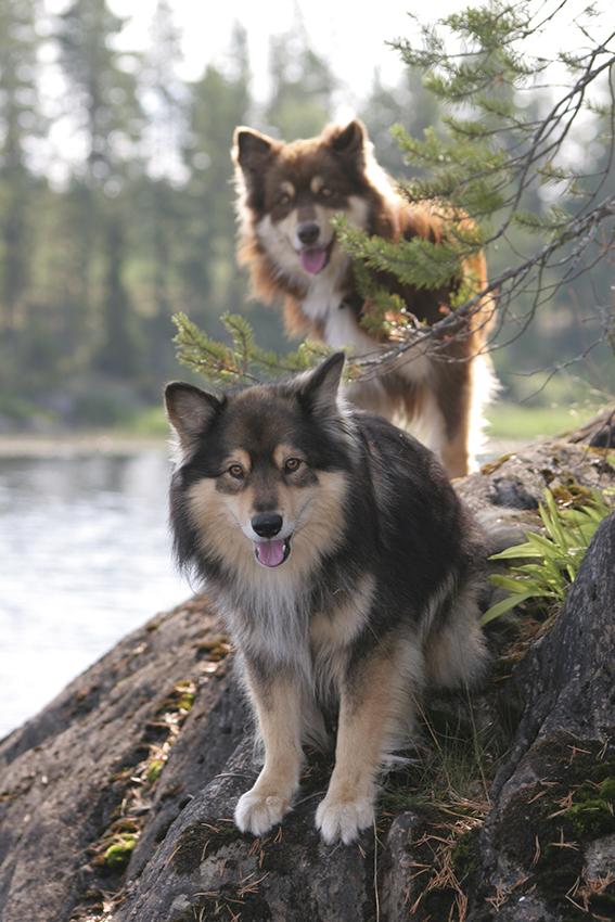 lapin* - Chien Finnois de Laponie ou Lapinkoïra - Page 3 Nanna_oksanen_1