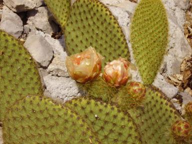 Opuntia scheerii Opscheerinoir