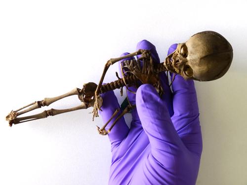 La créature d'Atacama - Chili. Foetus_skeleton