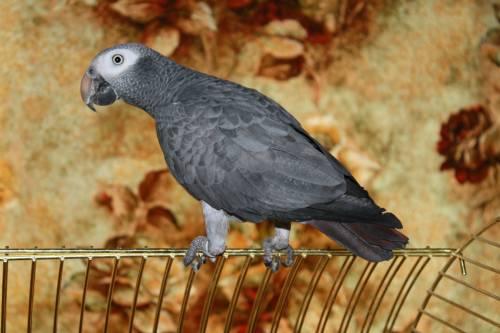 Artikkel: Aafrika hallpapagoi (jako) / Psittacus erithacus 506034194