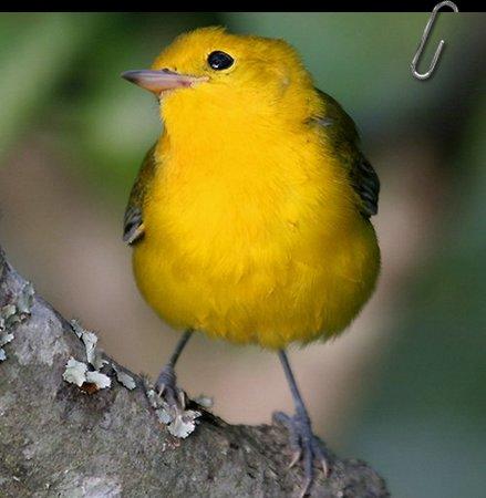 Sve vrste Ptica - Page 7 Ptice66