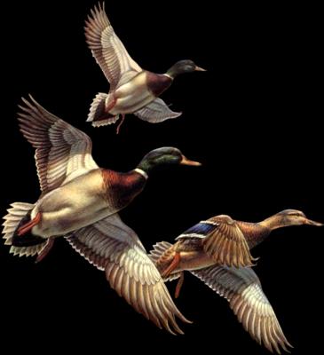 Les oiseaux - Page 2 R5xxqihx