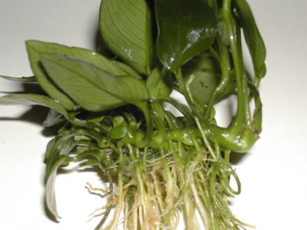 Quel est le nom de cette plante ? Anubia3