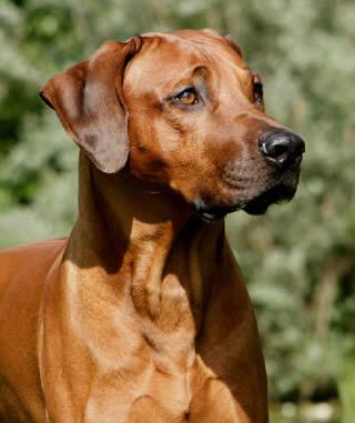 Psi i psići (kinologija, pasmine pasa, obuka pasa, dresura pasa, lovački psi, kućni psi, hranidba pasa, slike pasa, Vaša najdraža pasmina pasa, izložbe pasa, šetanje pasa, kupanje pasa, perilica za pse, hrana za pse) - Page 8 Rhodesian