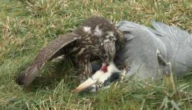 Falconiformes. sub Falconidae - sub fam Falconinae - gênero Falco - Página 3 Birgit2