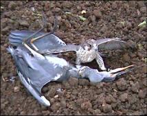 Falconiformes. sub Falconidae - sub fam Falconinae - gênero Falco - Página 3 Karonia