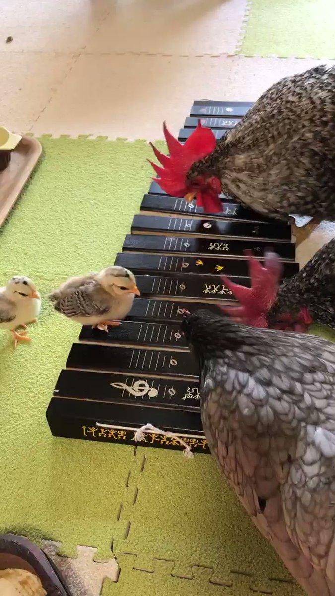 雞群演奏 X4Z696YumgryTGwD