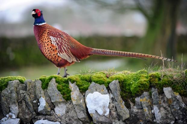 Bestiario de Personajes Peak_District_Birds_-_Pheasants_1