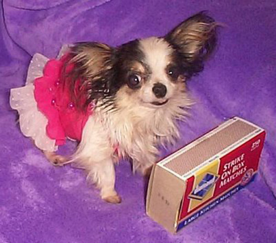 Les chiens les plus , puissants , grands , lourds , petits ,rapides... Smallest-chihuahua1